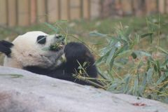 吃竹子的大股票大熊猫 免版税库存照片