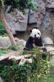 吃竹子的熊猫在海洋公园 库存图片
