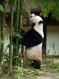 吃竹子的熊猫 免版税图库摄影