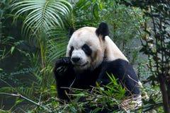 吃竹子的逗人喜爱的大熊猫 免版税库存图片