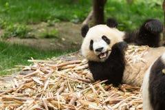 吃竹子的逗人喜爱的熊猫 免版税库存照片