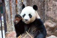 吃竹子,清迈动物园的熊猫 免版税库存照片