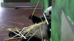 吃竹茎的熊猫 ?? 蓬松大熊猫开会拿着与他的爪子的竹茎并且嚼他们 r 影视素材
