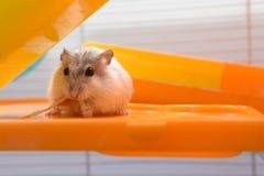 吃糖果的仓鼠在很鲜美的房子里 免版税库存照片