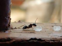 吃糖的片断在木头的黑蚂蚁 免版税库存照片