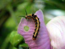 吃紫色花的一条黑和黄色毛虫 图库摄影