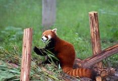 吃红熊猫的小熊猫 免版税图库摄影
