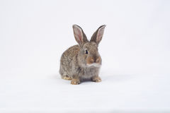 吃红萝卜的兔子 免版税图库摄影
