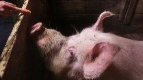 吃红萝卜的大白色公猪 股票视频
