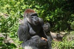 吃红萝卜的巨型野生大猩猩 库存照片