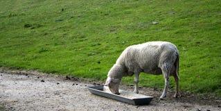 吃绵羊通过 库存图片