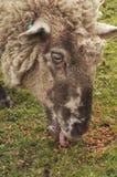 吃绵羊 免版税库存图片