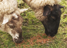 吃绵羊 库存图片
