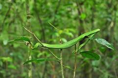 吃绿色前休息的蛇结构树 库存照片