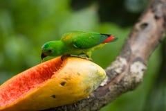 吃绿色番木瓜鹦鹉 库存照片
