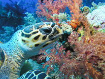 吃绿色红海乌龟 库存图片