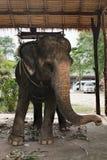 吃绿草的亚洲大象 免版税库存照片