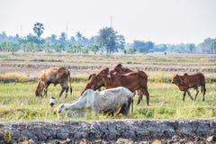 吃绿草的布朗和白色母牛在米领域中间在农村泰国 免版税库存照片
