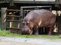 吃绿草的河马或河马在有下来头的一个动物园里 免版税库存图片
