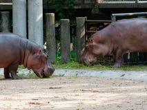 吃绿草的河马或河马在有下来头的一个动物园里 库存图片