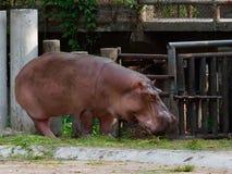 吃绿草的河马或河马在有下来头的一个动物园里 免版税图库摄影