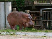 吃绿草的河马或河马在有下来头的一个动物园里 免版税库存照片