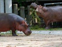 吃绿草的河马或河马在有头的一个动物园里 图库摄影
