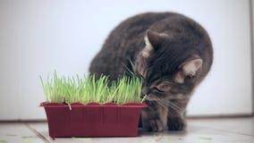 吃绿草罐的猫室内 股票录像