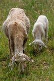 吃羊羔绵羊 库存照片