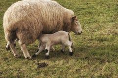 吃羊羔 免版税库存图片