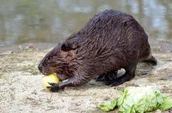 吃美国苹果的海狸北部 免版税库存照片
