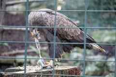 吃老鼠的老鹰 库存图片