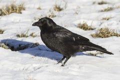 吃腐肉的乌鸦坐雪冬日 免版税库存图片