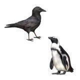 吃腐肉的乌鸦的侧视图,乌鸦座corone, gentoo 库存图片