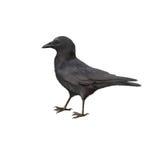 吃腐肉的乌鸦的侧视图,乌鸦座corone 免版税库存照片