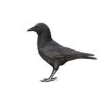 吃腐肉的乌鸦的侧视图,乌鸦座corone 图库摄影