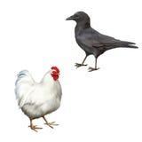 吃腐肉的乌鸦,乌鸦座corone,白色鸡 免版税图库摄影