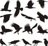 吃腐肉的乌鸦 图库摄影