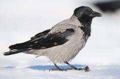 吃腐肉的乌鸦 免版税库存照片