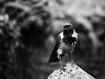 吃腐肉的乌鸦 免版税库存图片