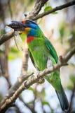 吃臭虫的研磨器的热带巨嘴鸟 免版税库存照片
