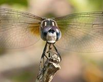 吃臭虫的蜻蜓 免版税图库摄影