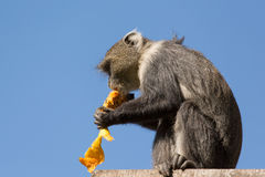 吃芒果的小的猴子 免版税库存照片