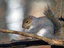 吃花生的东部灰色灰鼠 免版税库存照片