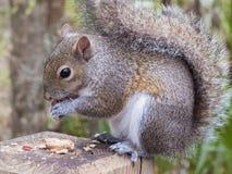 吃花生的灰色灰鼠 免版税库存图片