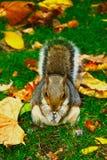 吃花生的灰鼠在圣詹姆斯的公园,伦敦 库存图片