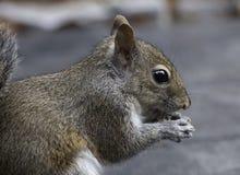 吃花生的灰鼠特写镜头 库存照片