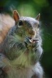 吃花生的灰鼠的面孔 免版税库存照片