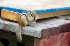 吃花生的花栗鼠 库存照片