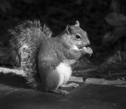 吃花生的逗人喜爱的灰鼠 库存图片